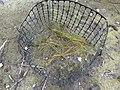 Starr-150331-0798-Cyperus laevigatus-transplanted-Brackish Pond Sand Island-Midway Atoll (25271488995).jpg