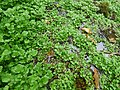 Starr-180909-0776-Nasturtium officinale-habit in wet spot-Lower Kula Pipeline Waikamoi-Maui (45766166052).jpg