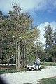 Starr-990507-0669-Spathodea campanulata-Habit with Forest and golf cart-Sand Island-Midway Atoll (24526640145).jpg