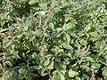 Starr 010520-0109 Amaranthus viridis.jpg