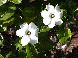 Starr 030523-0034 Gardenia brighamii
