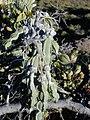 Starr 030721-0008 Sophora chrysophylla.jpg