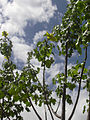Starr 040318-0040 Hibiscus brackenridgei subsp. brackenridgei.jpg