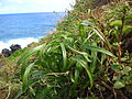 Starr 050406-6077 Cyperus phleoides.jpg