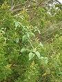 Starr 050815-3433 Rubus glaucus.jpg