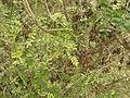 Starr 050815-3450 Sophora chrysophylla.jpg