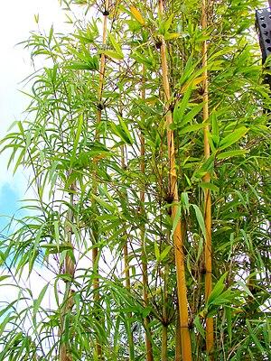 Bambuseae - Bambusa textilis