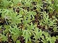 Starr 080117-1584 Brassica oleracea.jpg