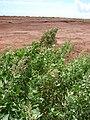 Starr 080208-2552 Chenopodium oahuense.jpg