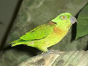 Light green parrot with orange chest marking and black neck marking