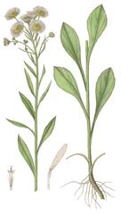 Hviezdnik ročný (Stenactis annua)