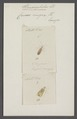 Stenocephalus - Print - Iconographia Zoologica - Special Collections University of Amsterdam - UBAINV0274 040 05 0024.tif