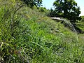 Stipa pulcherrima (subsp. pulcherrima) sl4.jpg