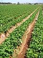 Strawberry fields in Carlsbad, April 2010.jpg