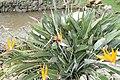 Strelitzia reginae 36zz.jpg