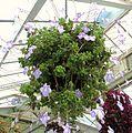 Streptocarpella in a hanging basket - at Wellington Botanic Gardens, New Zealand.JPG