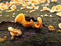 Striegelige Schichtpilz (Stereum hirsutum) - Makroaufnahme der striegelig-filzigen Behaarung - hms(1).jpg