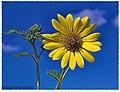 Sunflower North Brownsville - Flickr - pinemikey.jpg
