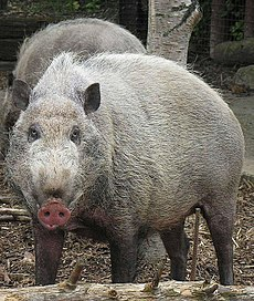Sus Barbatus, the Bornean Bearded Pig (12616351323).jpg