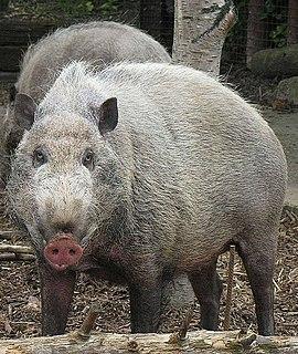 Pig genus of even-toed ungulates
