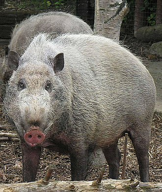 Pig - Bornean bearded pig at the London Zoo.