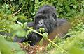 Susa group, mountain gorillas - Flickr - Dave Proffer (34).jpg