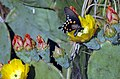 Swallowtail Butterfly on Pricklypear Cactus Bloom (129866994).jpg