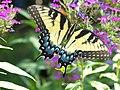 Swallowtail butterfly (1).jpg