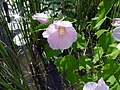 Swamp Rose Mallow.jpg