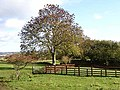 Sycamore tree near Walwick - geograph.org.uk - 1018641.jpg
