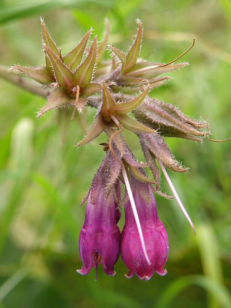 File:Symphytum officinale L..JPG
