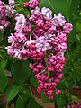 Syringa 'Paul Deschanel' 02.jpg