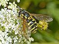 Syrphidae - Chrysotoxum cf. verralli.JPEG