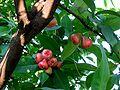 SyzygiumSamarangense.jpg