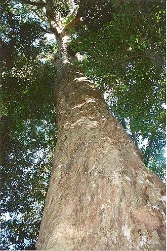 Big Scrub - Image: Syzygium francisii Booyong Reserve edited