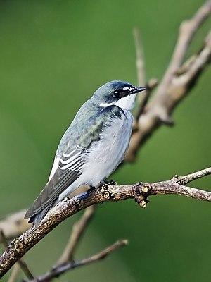 Mangrove swallow - Image: Tachycineta albilinea