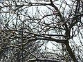 Takken bedekt sneeuw, tree with snow - panoramio.jpg