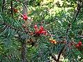 Tamus communis fruit.jpg