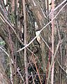 Tangled butterfly bush stems in winter.jpg