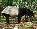 Tapir ZOO NEGARA.jpg
