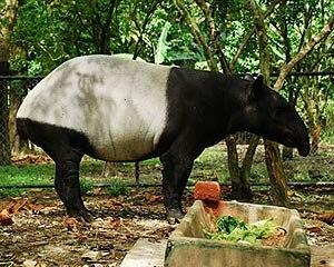 National Zoo of Malaysia - Malayan tapir