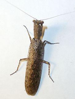 <i>Tarachodes</i> Bark mantisses of the Afrotropics