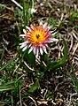 Taraxacum porphyranthum 31523375.jpg
