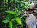 Tarenna asiatica - Asiatic Tarenna 03.jpg