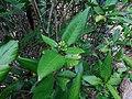 Tarenna asiatica - Asiatic Tarenna 04.jpg