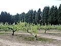Tattenhall - orchard beside the Eddisbury Way - geograph.org.uk - 804827.jpg
