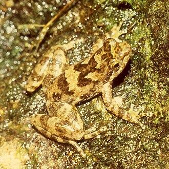 Eungella torrent frog - Image: Taudactylus eungellensis 1