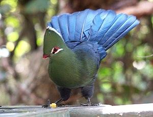 Turacoverdin - A Knysna turaco displaying its bright colors