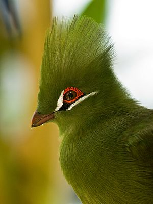 Turacoverdin - The Guinea turaco's green coloration is due to the pigment turacoverdin