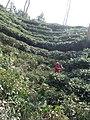 Tea gardens Srimangal Sreemangal Upazila Moulvibazar Maulvibazar Moulavibazar Sylhet 233.jpg